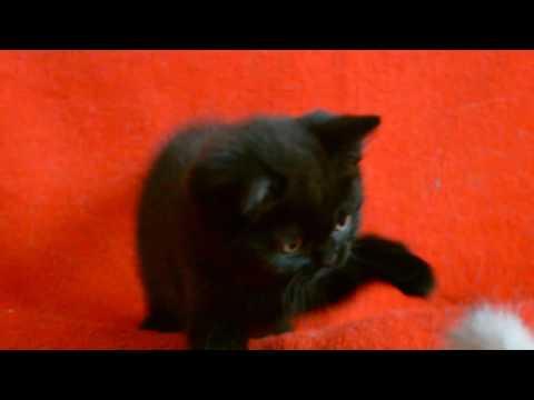 Котята для Вас! Шотландские прямоухие котята черного окраса.