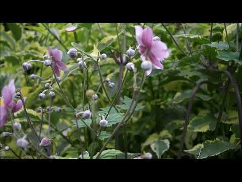 Мой прекрасный сад. Посадка и уход за осенними анемонами (ветреницами).