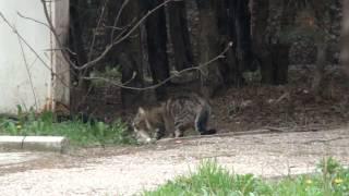 Кот- крысолов поймал сразу 2 крыс.