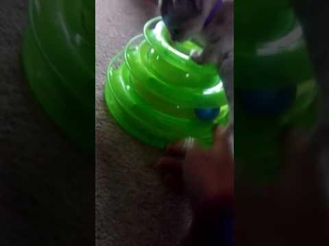 Singapura kitten goes backside up inside toy.