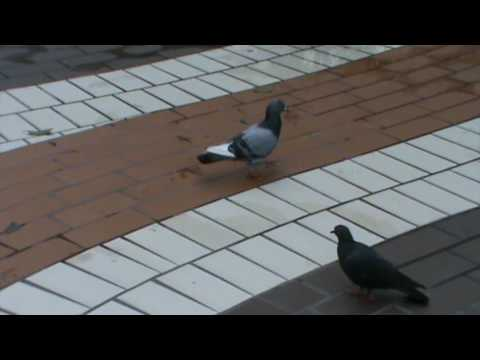 Rock Pigeons (Rock Doves) in Thailand