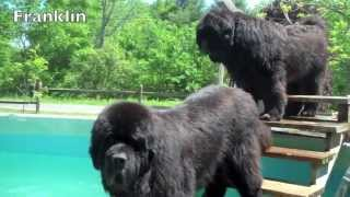 River Bear Newfoundland Dog Pool Opening 2013