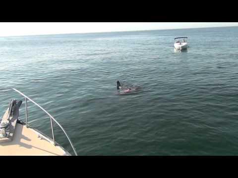 Great White Shark Attacks Seal off Chatham, MA - 8/22/12