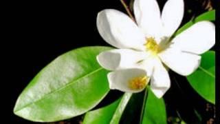 **Plant a Sweetbay Magnolia Tree**++Magnolia virginiana++Wetlands++