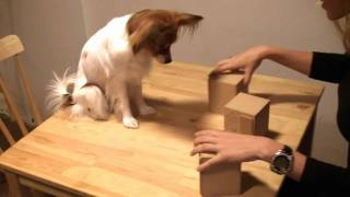 cute dog yawns and plays shell game