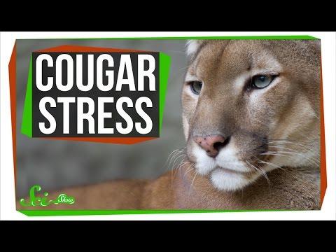 Cougar Stress: SciShow Talk Show