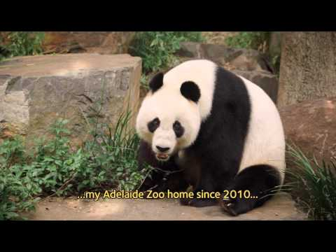 AGL, endorsed by Adelaide Zoo's pandas