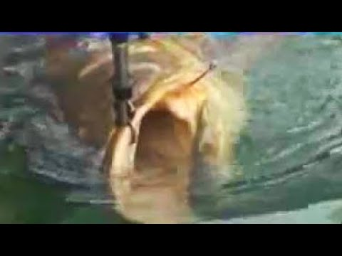 Giant 600 Pound Goliath Bass Grouper Chew On This Fishing Full Shows Videos
