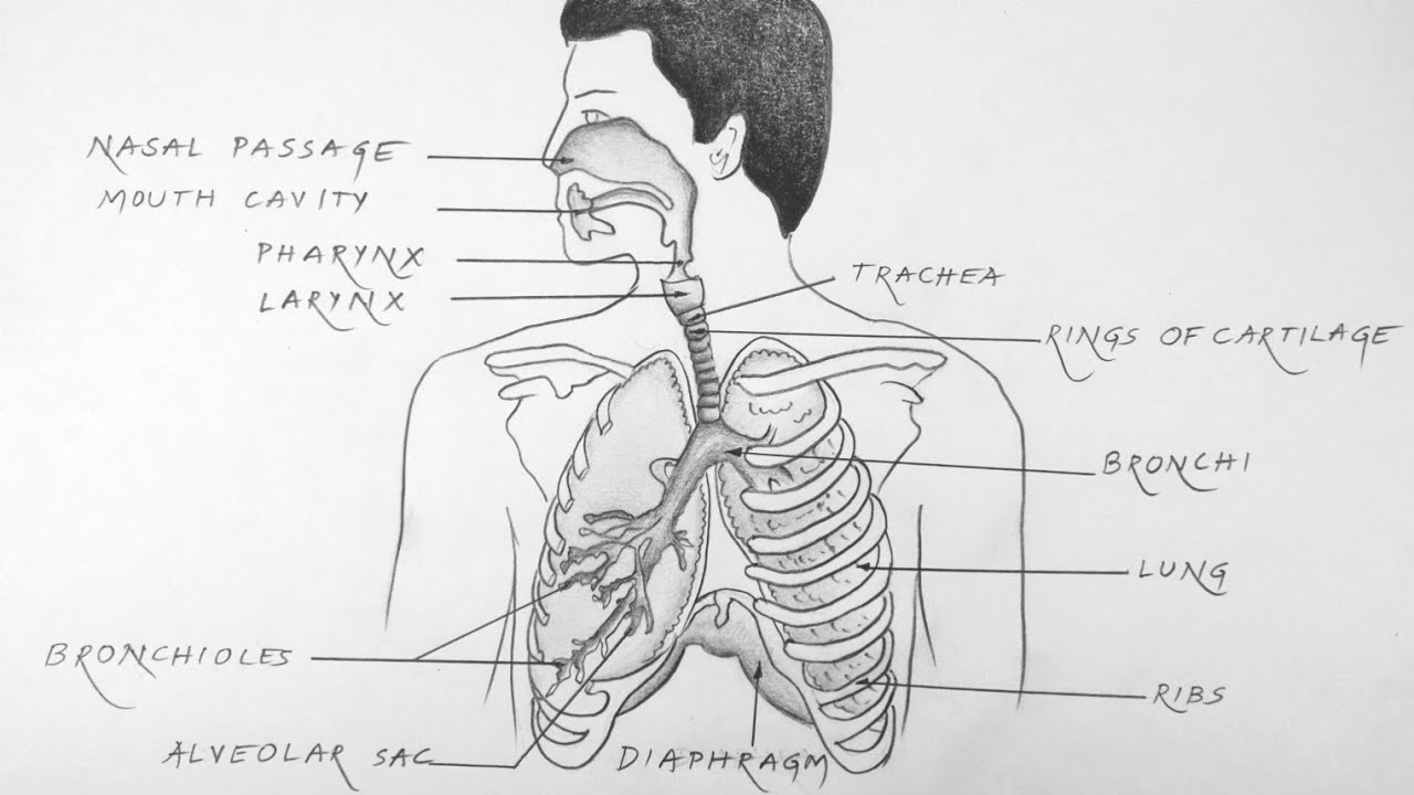 S04e06 How To Draw Human Respiratory System Diagram Biology Youtube