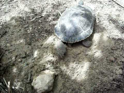 Deposizione uova tartaruga d 39 acqua parte 4 youtube for Deposizione uova tartarughe terrestri