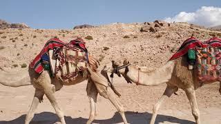 Петра. Верблюды на Улице Колоннад.