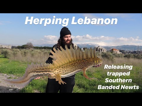 Herping Lebanon: Exploring and release of the Southern Bande