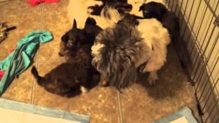 Shih Tzu Puppies Born 4.25.12 @ 4 & Half Weeks