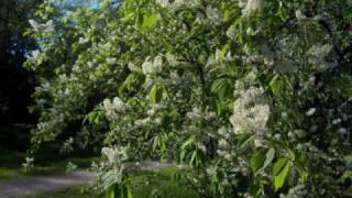 The Bird-Cherry Tree