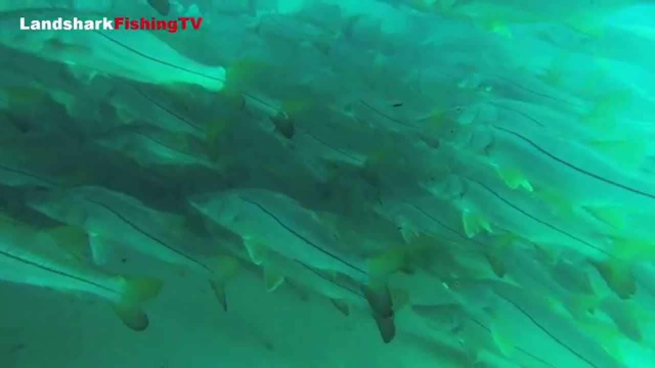 Swimming with the largest school of snook ever recorded for Juno pier fishing report