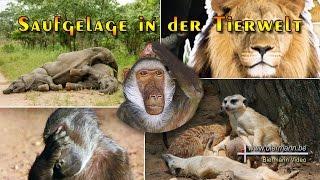 Saufgelage in der Tierwelt