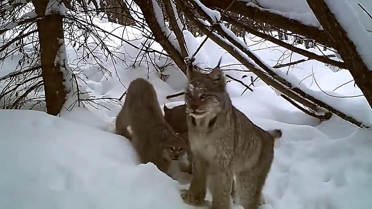 Рысь удачная охота съемка поймала зайца на фотоловушку со звуком зимняя охота рысь в дикой природе