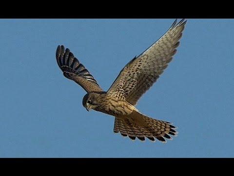 Flight of the Falcon ,GH4, Leica Apo-Telyt 2.8/400mm + 1.4x TC