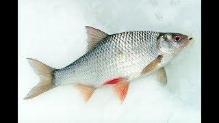 Вот такая рыбалка на окуня и сибирского чебака