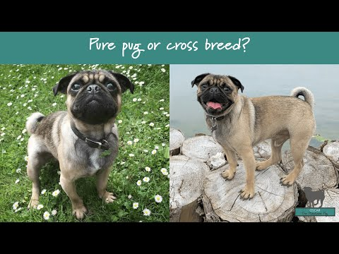Am I a PURE PUG or CROSS BREED? We reveal the DNA test results...