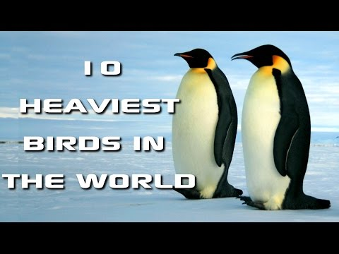 Top 10 Heaviest Birds in the World: World's Biggest Birds! - FreeSchool Creature Countdown