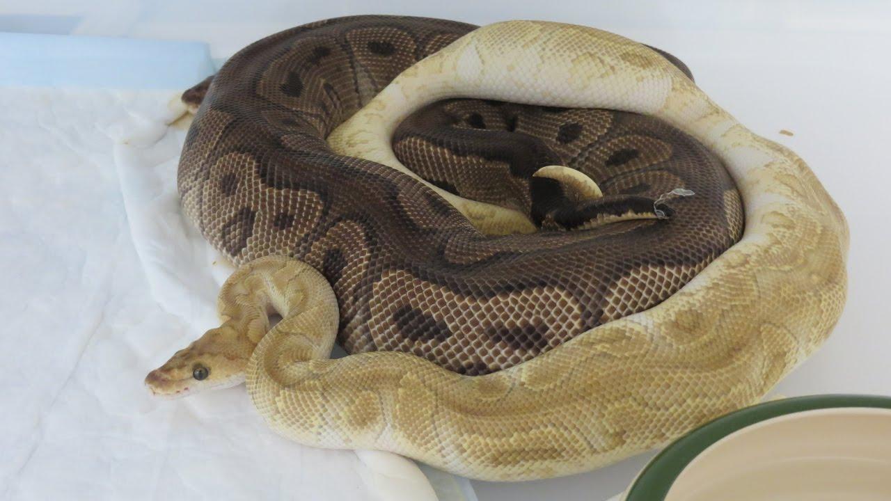 Bien connu Ma méthode de reproduction du python regius Partie 2 - YouTube KW37