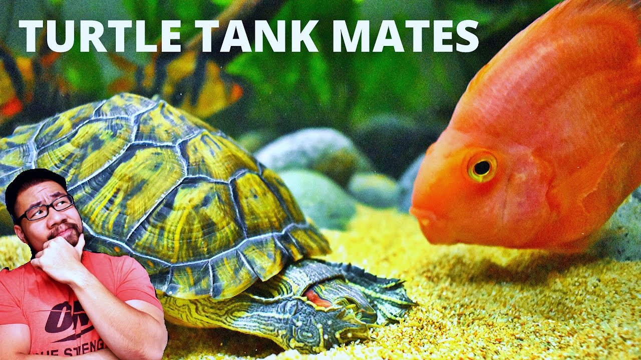 Top 5 Fish For Turtle Tank Mates Youtube