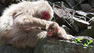 子猿が親を離れ遊び始めます。