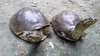 Big Turtle !! Rare Turtle !! Indian Tortoise !! Top Turtle !! World Best Turtle !!  कछुआ !!