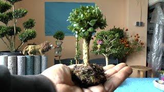 Buchsbaum Stämmchen selber heranziehen wie? Hier kannst du es sehen :)
