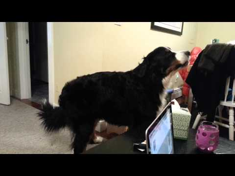 Bernese Mountain Dog loves Sublime song.