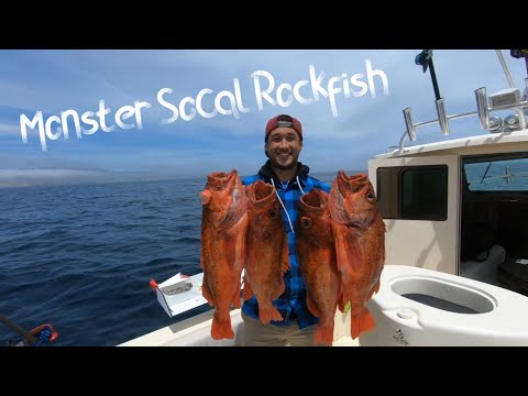 Catching MONSTER SoCal Rockfish - Herb Crusted Rockfish With Pea Puree And Parmesan Tuile