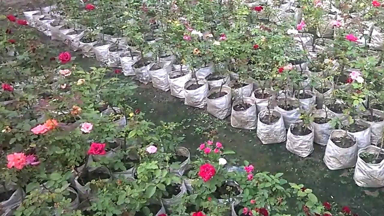 Roses In Garden: Planting Rose In Pots And Plastic Bags
