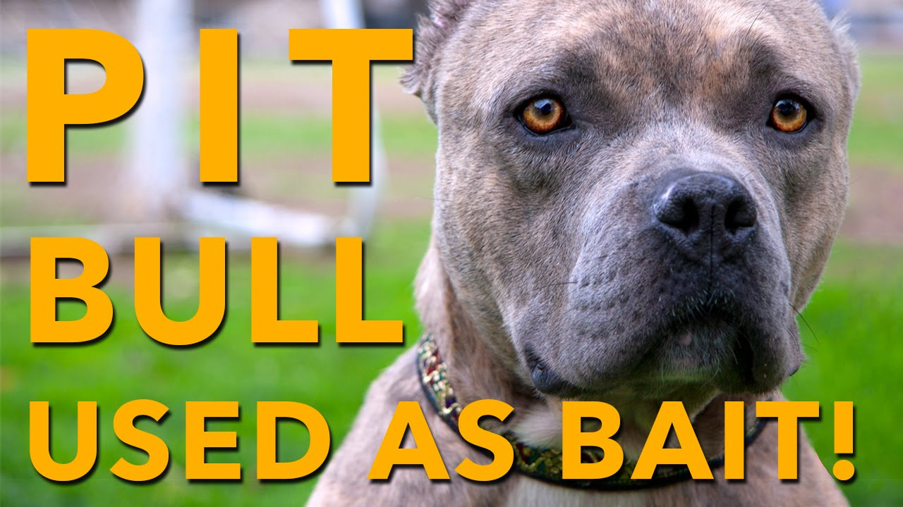You Won T Believe What This Pit Bull