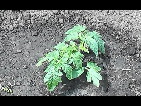 Сделайте это! При посадке томата в открытый грунт   специальная   потепление   подкормка   открытый   сделайт   рассады   помидор   вытяжка   фосфор   первая