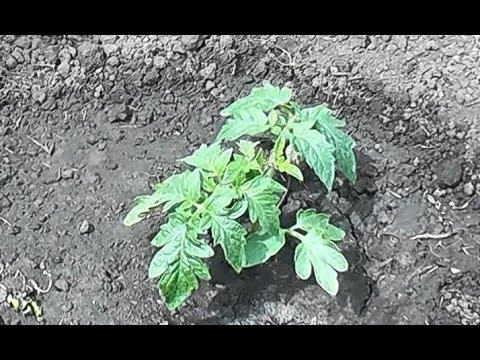 Сделайте это! При посадке томата в открытый грунт