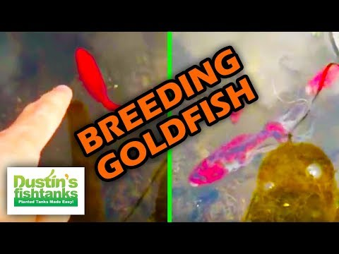 Breeding Goldfish, How To Sex Goldfish. Water Changes. Sexing Goldfish. Travel Video