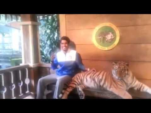 Чучуть испугался тигра!