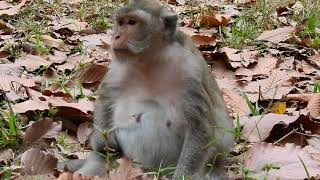 This female monkey will give a birth soon, Monkey nearly giving birth
