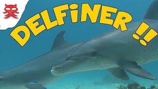 Delfiner - Vlog