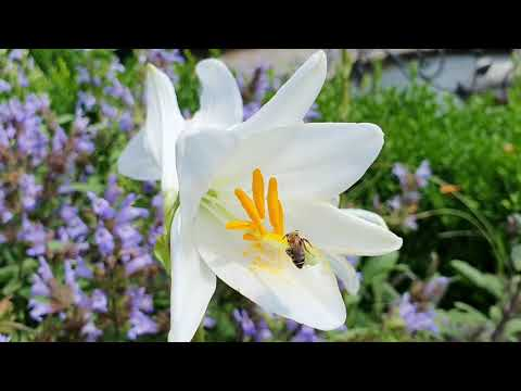 Белая лилия чудесный цветок. Полезные свойства. Лечебные свойства белой лилии.