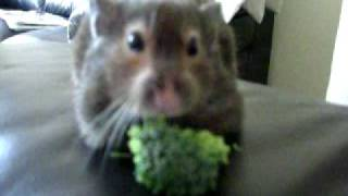 pudding the amazing eating hamster