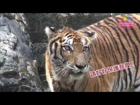 炎炎夏日要怎麼過?動物園老虎爽吃冰