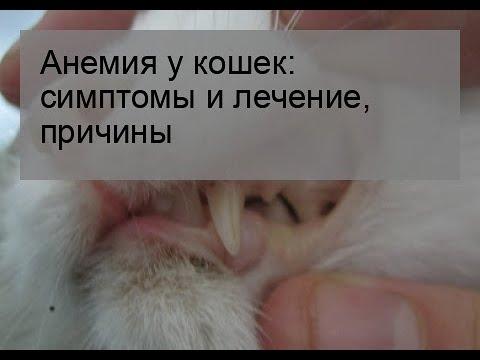 Анемия у кошек: симптомы и лечение, причины