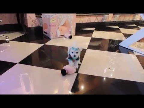 Teacup Puppies Store - Teacup Maltese Puppy 2016 WE SHIP Visit http://www.TeacupPuppiesStore.com