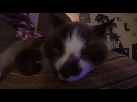 Snowshoe Siamese Cat is Awakened from his Nap with Tuna