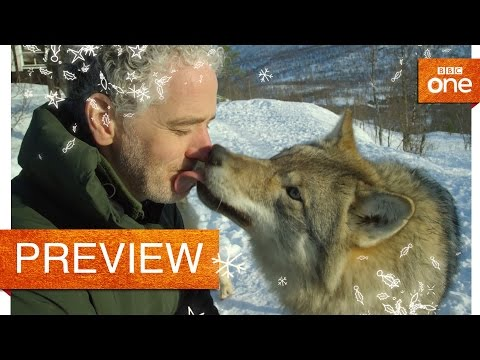 Gordon Buchanan comes face to face with a wolf  Life in the Snow: P  BBC One