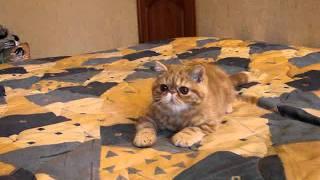 Рыжий котенок экзот