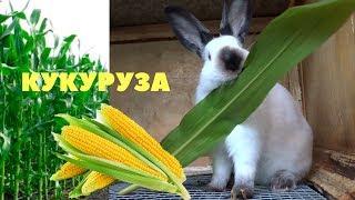 Кукуруза в кормлении кроликов