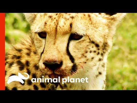 Wild Cheetah Uses Incredible Speed And Agility To Hunt Her Prey | Raw Nature